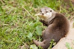 Aziatische Otter royalty-vrije stock afbeelding