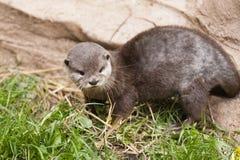 Aziatische Otter stock afbeeldingen