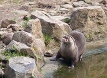 Aziatische otter die druk vissen kauwen Royalty-vrije Stock Foto's