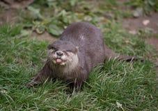 Aziatische otter die uit tong porren Stock Foto's