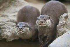 Aziatische otters Royalty-vrije Stock Afbeeldingen