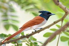 Aziatische paradijs-Vliegenvanger - paradisi Terpsiphone royalty-vrije stock foto