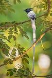 Aziatische paradijs-Vliegenvanger - paradisi Terpsiphone stock fotografie