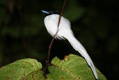 Aziatische paradijsvliegenvanger stock afbeelding
