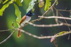 Aziatische paradijsvliegenvanger in het nationale park van Uda walawe, Sri Lanka royalty-vrije stock fotografie