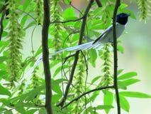 Aziatische Paradise-Vliegenvanger stock afbeelding