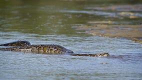 Aziatische Python in rivier in Nepal Royalty-vrije Stock Foto's