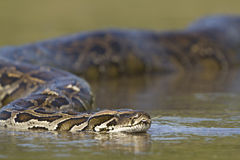 Aziatische Python in rivier in Nepal Royalty-vrije Stock Afbeelding