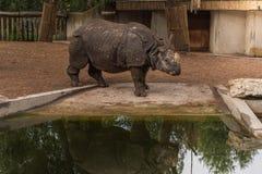 Aziatische rinoceros stock foto's