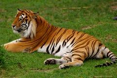 Aziatische tijger Stock Afbeelding