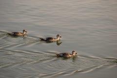 Aziatische treeduck die in meer zwemmen Royalty-vrije Stock Foto's