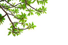 Aziatische tropische groene bladeren die op een witte achtergrond isoleerden stock fotografie