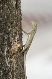 Aziatische tropische hagedis die op een boom beklimmen Royalty-vrije Stock Afbeeldingen