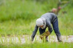 Aziatische vrouw het groeien rijst Royalty-vrije Stock Afbeeldingen