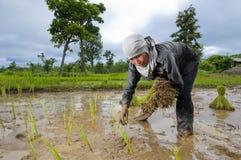 Aziatische vrouw het groeien rijst Stock Afbeelding