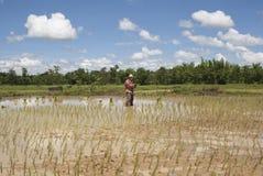 Aziatische vrouw in het padieveld, Thailand Stock Foto