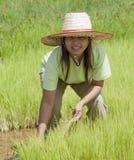 Aziatische vrouw in het padieveld, Thailand Stock Afbeeldingen