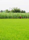 Aziatische vrouw met kegelhoed die in het padieveld werken stock afbeeldingen