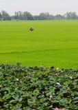 Aziatische vrouw met kegelhoed die in het padieveld werken royalty-vrije stock fotografie