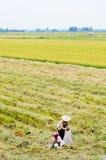 Aziatische vrouw met kegelhoed die in het padieveld werken stock fotografie
