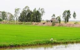 Aziatische vrouw met kegelhoed die in het padieveld werken royalty-vrije stock foto