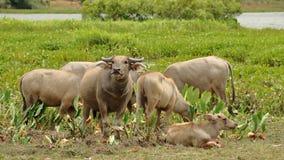 Aziatische waterbuffel Royalty-vrije Stock Fotografie