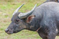Aziatische waterbuffel op het gebied Royalty-vrije Stock Fotografie