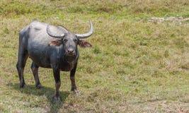 Aziatische waterbuffel op het gebied Royalty-vrije Stock Afbeeldingen
