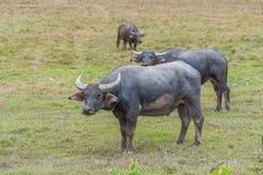 Aziatische waterbuffel op het gebied Stock Fotografie