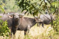 Aziatische waterbuffel royalty-vrije stock foto