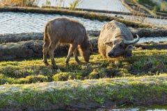 Aziatische waterbuffel op padievelden van terrassen Royalty-vrije Stock Fotografie
