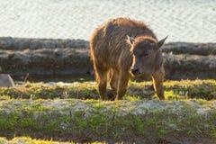 Aziatische waterbuffel op padievelden van terrassen Stock Afbeelding
