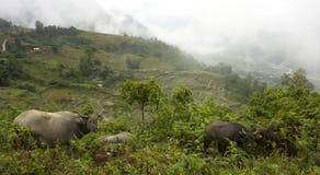 Aziatische waterbuffels stock fotografie
