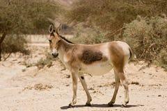 Aziatische wilde ezel royalty-vrije stock afbeeldingen
