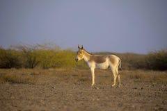 Aziatische Wilde Ezel, Equus-hemionus khur, Weinig Rann van Kutch, Gujarat stock afbeelding