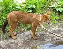 Aziatische Wilde Hond Royalty-vrije Stock Afbeelding