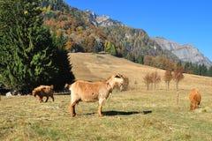 Azienda agricola 2 delle capre Immagine Stock Libera da Diritti