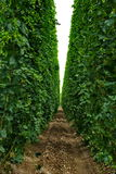 Azienda agricola #7 dei luppoli Fotografia Stock Libera da Diritti