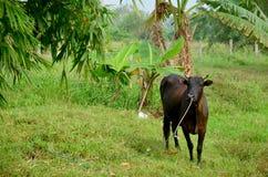 Azienda agricola agricola della mucca Fotografia Stock Libera da Diritti