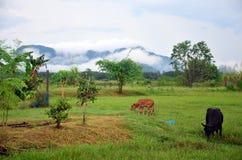 Azienda agricola agricola della mucca con il nome Khao Oktalu della montagna Fotografie Stock Libere da Diritti