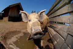 Azienda agricola animale Fotografia Stock