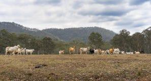 Azienda agricola australiana dei bovini da carne Immagini Stock Libere da Diritti