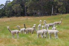 Azienda agricola bianca Australia dei prati dell'alpaca Fotografie Stock Libere da Diritti