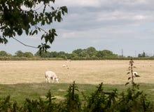 Azienda agricola britannica della superficie a pascolo del campo del prato con le pecore che pascono Immagine Stock Libera da Diritti