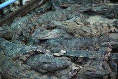 Azienda agricola cambogiana del coccodrillo Fotografia Stock