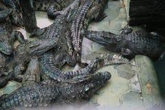 Azienda agricola cambogiana del coccodrillo Immagini Stock