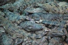 Azienda agricola cambogiana del coccodrillo Fotografie Stock Libere da Diritti