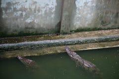 Azienda agricola cambogiana del coccodrillo Fotografia Stock Libera da Diritti