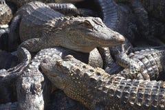 Azienda agricola crescente degli alligatori Fotografia Stock