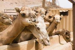 Azienda agricola dei cammelli Immagini Stock